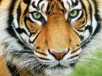 ilustrasi-harimau.jpg