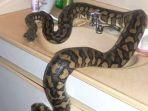 ilustrasi-ular-di-dalam-rumah_20181016_105056.jpg