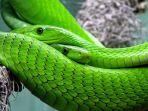 ilustrasi-ular-hijau.jpg