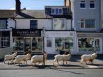 kawanan-kambing-liar-berjalan-di-kota-wales-utara-inggris-selama-pandemi-covid-19.jpg