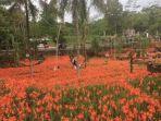 kebun-bunga-amarilis-di-gunungkidul_20171017_145247.jpg