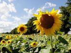 kebun-bunga-matahari-kanada_20180806_153119.jpg