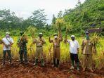 kembangkan-padi-jenis-inpari-42-produksi-gabah-di-petani-di-tanjungsari-tembus-6-ton-per-hektare.jpg