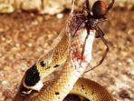 laba-laba-punggung-merah-memakan-ular-paling-berbisa-kedua-di-dunia.jpg