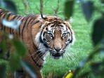 melati-harimau-sumatra-betina-yang-mati-diterkam-sang-pejantan-di-kebun-binatang-london.jpg