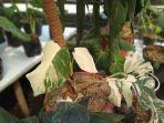 monstera-variegata-ekstrim.jpg