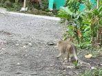 monyet-ekor-panjang-terlihat-di-perkampungan-berkeliaran-di-wilayah-berjarak-10-km-dari-merapi.jpg