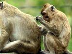 monyet-merapi_20170915_134202.jpg