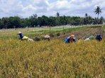 panen-padi-musim-pertama-di-gunungkidul-surplus-sebagian-besar-disimpan-petani.jpg