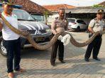 pegang-ular-sanca-yang-baru-ditangkap_20170427_222651.jpg