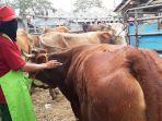 petugas-kesehatan-memeriksa-hewan-ternak-di-pasar-hewan-muntilan.jpg