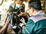 petugas-lapangan-dpkp-diy-saat-memberikan-vaksin-ke-hewan-ternak.jpg