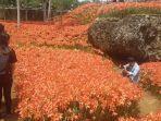 petunjuk-arah-rute-dan-harga-tiket-masuk-taman-bunga-amarilis-pathuk-gunungkidul.jpg