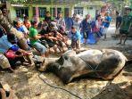 proses-penyembelihan-sapi-kurban-bantuan-dari-presiden-ri-joko-widodo_20180822_113803.jpg
