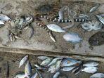 ratusan-ikan-mati-terdampar-di-maluku.jpg