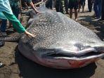 seekor-ikan-hiu-paus-terdampar-di-pesisir-pantai-congot-kabupaten-kulon-progo.jpg
