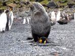 singa-laut-kawini-penguin_20170122_102136.jpg