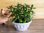 tanaman-hias-jade-plant.jpg