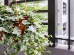 tanaman-ivy.jpg