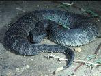 ular-black-adder.jpg