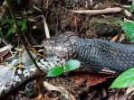 ular-piton-ditelan-ular-king-cobra.jpg