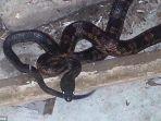 ular-yang-menyerbu-texas_20180922_103611.jpg