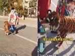 video-viral-harimau-diajak-jalan-jalan-sang-pemilik.jpg