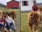 video-viral-sapi-dipoles-loreng-loreng-mirip-harimau.jpg