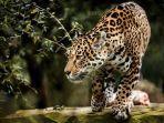 wanita-dicakar-jaguar.jpg