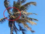 warga-kulonprogo-memanjat-pohon-kelapa-halangi-pembersihanbandara-nyia_20180628_111314.jpg