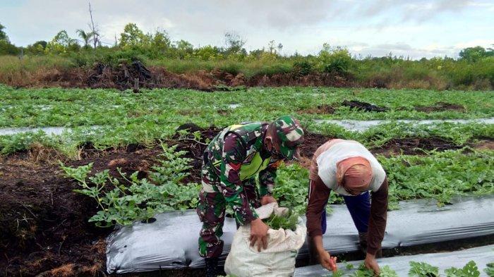 Dukung Hanpangan, Babinsa Koramil 0907/04 Tarakan Utara Dampingi Petani Semangka di Wilayah Binaan