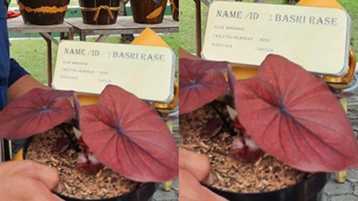 Heboh Bunga Langka di Bontang Dibandrol Hingga Rp 80 Juta, Hasil Kawin Silang Jenis Keladi Thailand