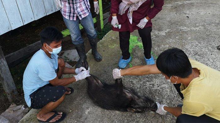 Terungkap Sudah! Uji Sampel Babi yang Mati Mendadak di Krayan Nunukan Positif Terpapar Penyakit ASF