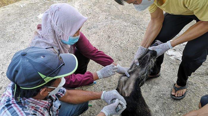 Terungkap Uji Sampel Babi yang Mati di Krayan, Tenaga Kesehatan Sebut Positif Terkena Penyakit ASF
