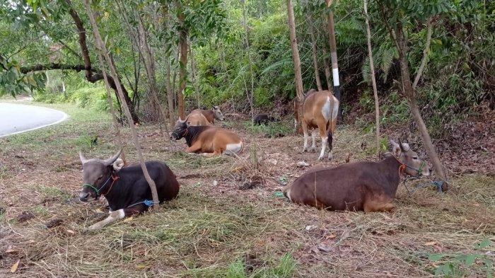 Salah satu lapak penjualan hewan kurban di depan Kantor Gabungan Dinas-Dinas II Nunukan, Jalan Selisun, Kelurahan Nunukan Selatan.