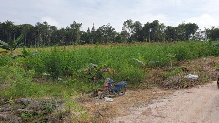 Rumput Pachong & Tanaman Indogofera, Digunakan untuk Pakan Kambing Boer di Bulungan, Dijamin Sehat