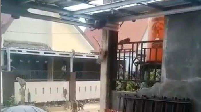 Gerombolan Kera Ekor Panjang Menyerbu Perumahan di Martapura, Warga Resah dan Terancam
