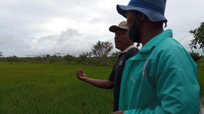 Air Asam Hingga tak Bisa Pasarkan Beras, Hasil Tani di Tanjung Buka Kabupaten Bulungan Terus Menurun