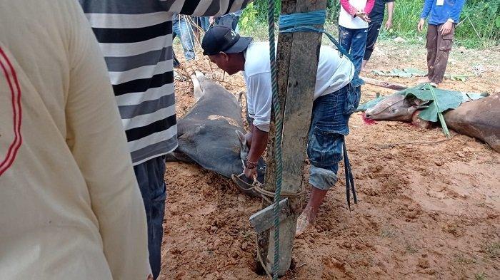 Pelaksanaan pemotongan hewan kurban di Kecamatan Malinau Kota diselenggarakan mulai pagi, Selasa (20/7/2021).
