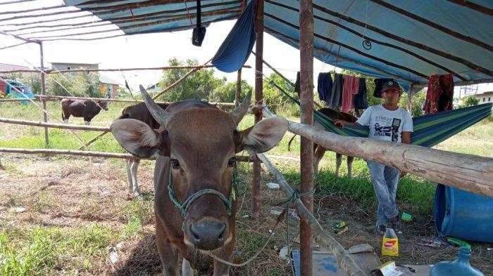 Imbas Pandemi Covid-19, Pedagang Sapi Tanjung Selor Akui Penjualan Hewan Kurban Sepi