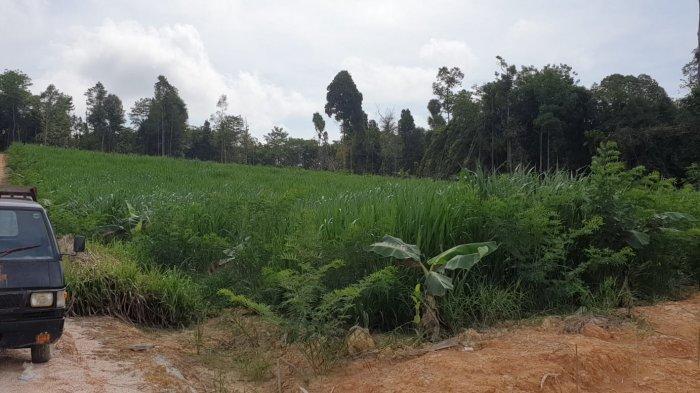 Jamin Ternak Kambing Boer Sehat, Cheito Karno: Karena Makan Rumput Pachong dan Tanaman Indogofera
