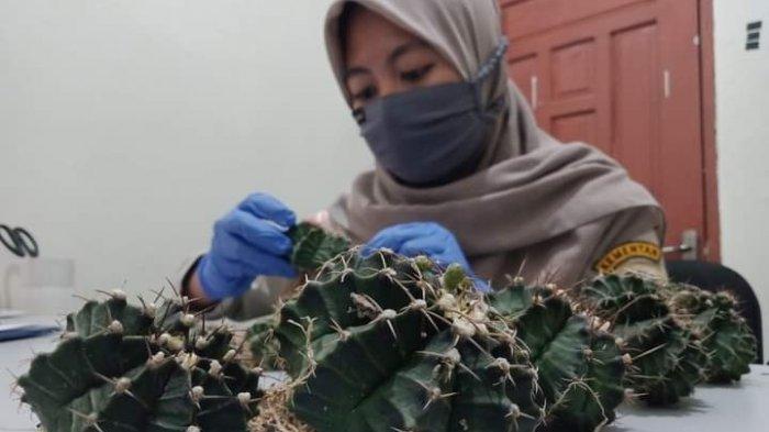 Tetap Eksis di Awal Tahun, Karantina Pertanian Tarakan Sertifikasi 20 Tanaman Kaktus Asal Sebatik