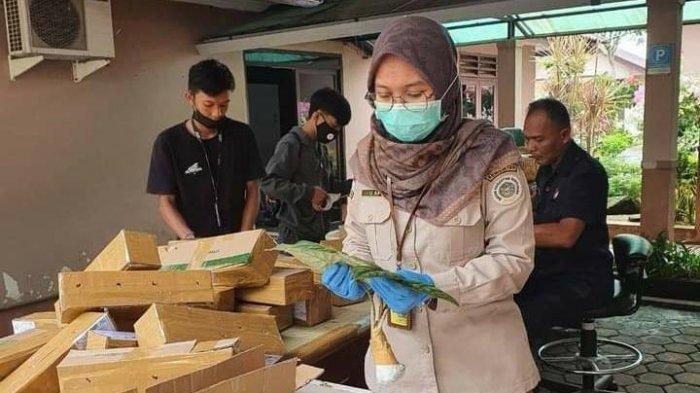 Masih Jadi Primadona di Awal Tahun, Ribuan Alokasia Disertifikasi Balai Karantina Pertanian Tarakan