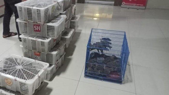 Petugas Karantina Pertanian Balikpapan kembali menggagalkan upaya penyelundupan ratusan ekor burung di Pelabuhan Semayang.