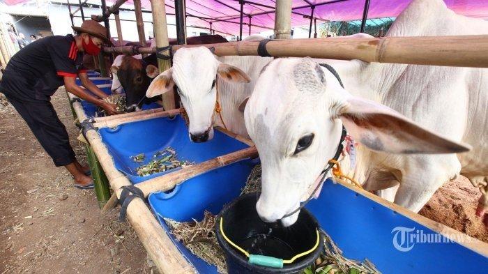 ILUSTRASI hewan kurban di salah satu peternakan di Bandung, Jawa Barat. Penjelasan Buya Yahya terkait pelaksanaan kurban bagi orang tua yang telah meninggal.