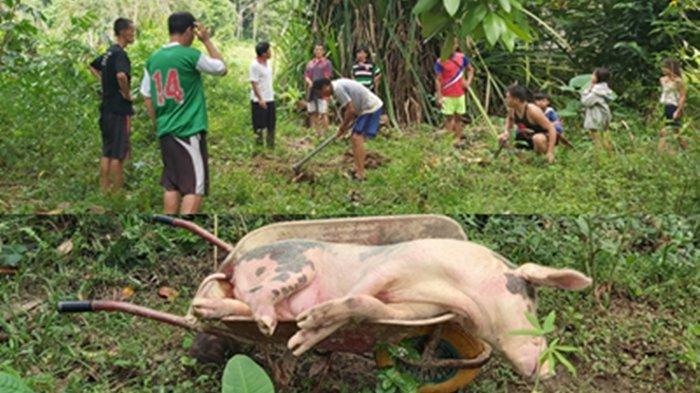 Puluhan ekor babi dikubur di Desa Wa Yagung dan Desa Bungayan, Kecamatan Krayan Timur, Kabupaten Nunukan, belum lama ini. (Istimewa).