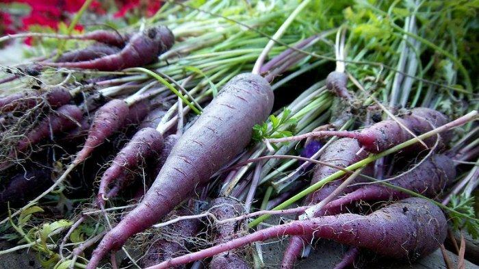 Kaya Antioksidan, Wortel ungu Diklaim Lebih Efektif Cegah Risiko Penyakit Jantung dan Diabetes