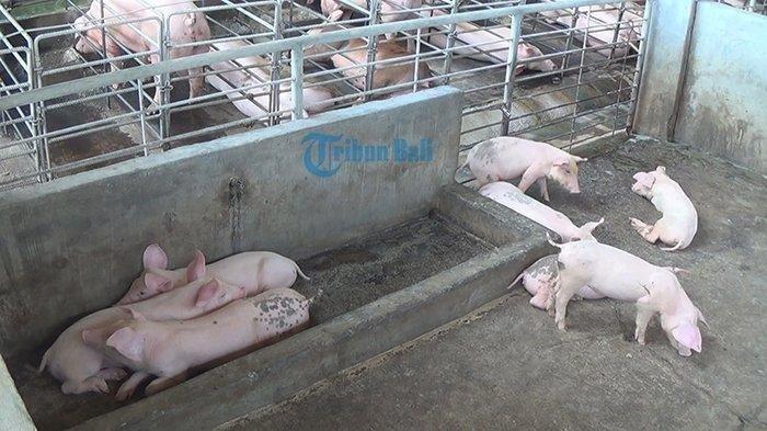 40 Babi di Bulungan Mati Mendadak, Dinas Pertanian Kaltara Jelaskan Virus ASF, Menular ke Manusia?