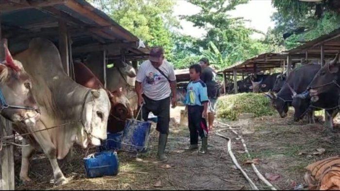 Aktivitas pemilik ternak di lokasi peternakan sapi miliknya