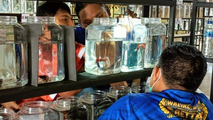 681 Ikan Cupang Ikuti Kontes Level Nasional, Perdana Digelar di Kaltara, Hadiah Utama Rp 5 Juta